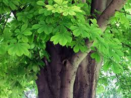 Human Relationship with Nature: Horsechestnut Tree
